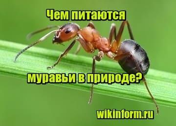 картинка Чем питаются муравьи в природе