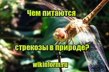 фото Чем питаются стрекозы в природе