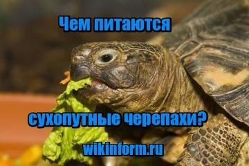 картинка Чем питаются сухопутные черепахи