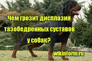 изображение чем грозит дисплазия тазобедренных суставов у собак