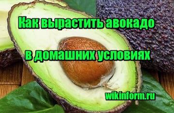 фото Как вырастить авокадо в домашних условиях